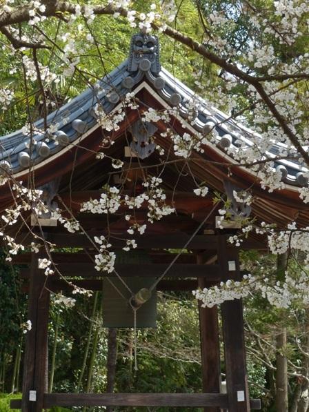 大宝寺 の うば桜 4