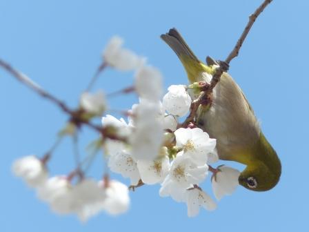 うば桜 & メジロ 3