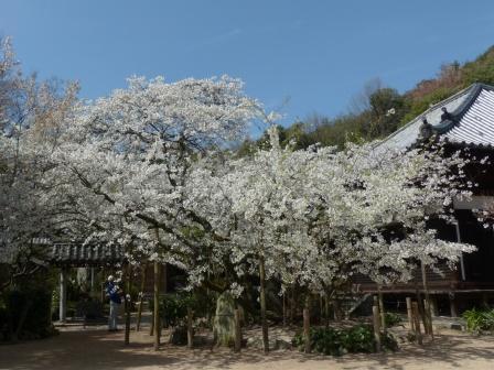 大宝寺 の うば桜 1