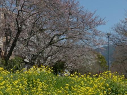 石手川緑地 ソメイヨシノ & 菜の花