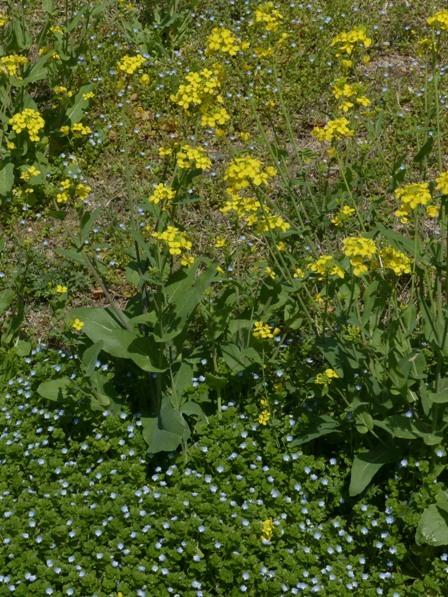 菜の花 & オオイヌノフグリ