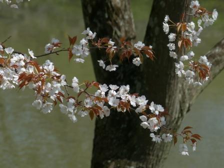 石手川緑地 山桜 1