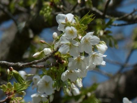 石手川緑地 大島桜