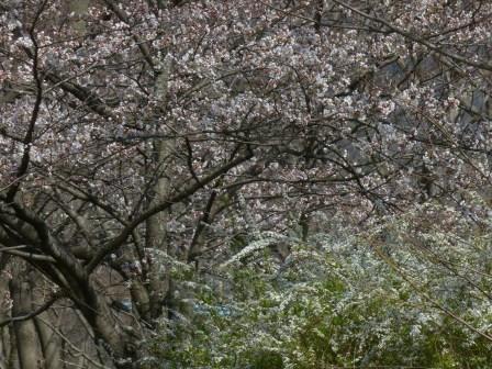 石手川緑地 ソメイヨシノ & 雪柳