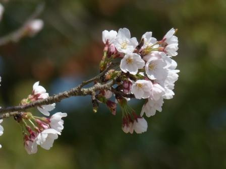 石手川緑地 ソメイヨシノ 1