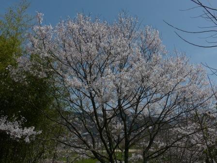石手川緑地 ひょうたん桜 1