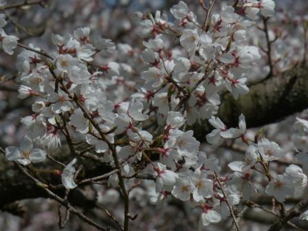 石手川緑地 ひょうたん桜 2