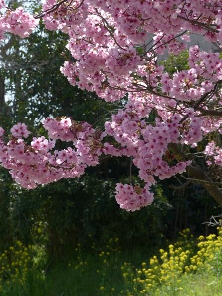 石手川緑地 陽光 & 菜の花