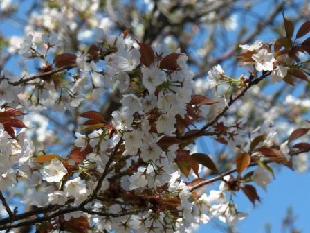 石手川緑地 山桜 2