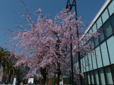 しだれ桜 (愛媛大学) 1