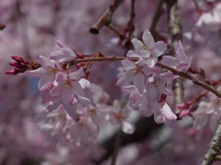 しだれ桜 (愛媛大学) 2