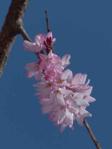 しだれ桜 (愛媛大学) 3