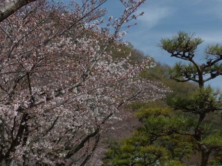 ソメイヨシノ (護国神社参道) 1