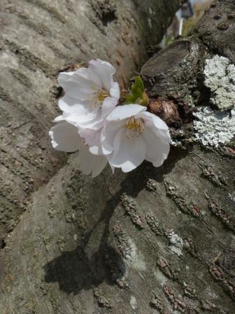 ソメイヨシノ (護国神社参道) 2