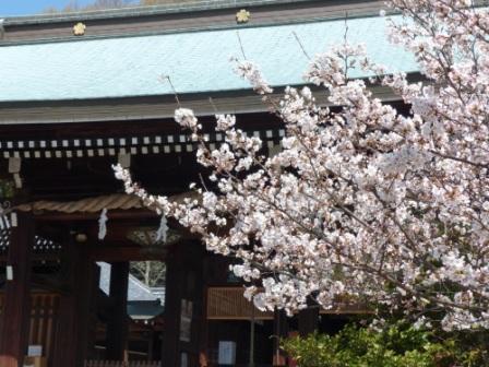 ソメイヨシノ (護国神社) 2