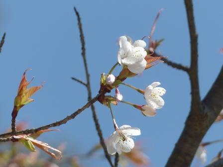 山桜 (愛媛万葉苑)