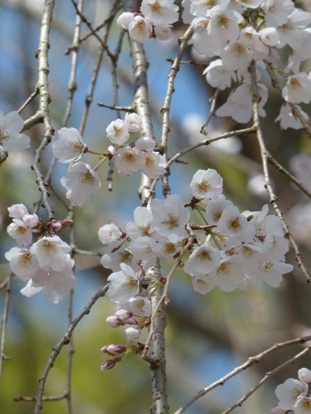 しだれ桜 (愛媛万葉苑)
