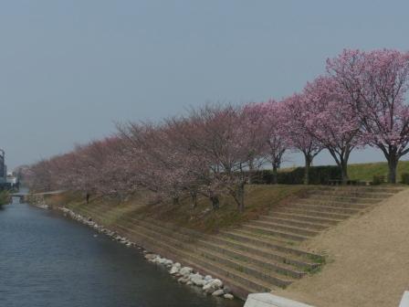 赤坂泉公園 陽光 & ソメイヨシノ 1
