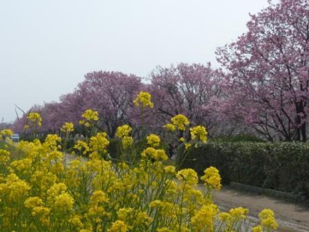 赤坂泉公園 陽光 & 菜の花