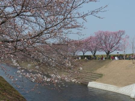 赤坂泉公園 陽光 & ソメイヨシノ 5