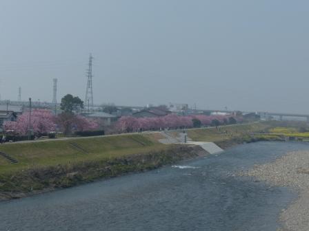 重信大橋から見た赤坂泉公園の陽光並木 1