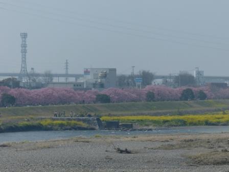 重信大橋から見た赤坂泉公園の陽光並木 2