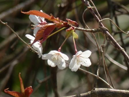 松山城 山桜