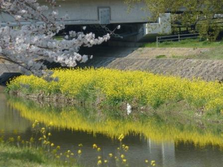 桜と菜の花 2