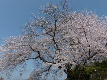 比翼塚の一本桜 (ソメイヨシノ) 1