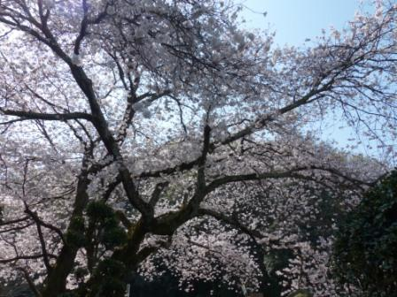 比翼塚の一本桜 (ソメイヨシノ) 2