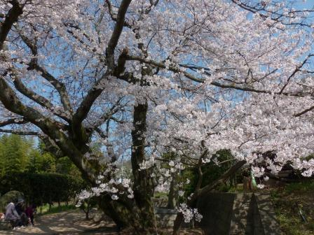 比翼塚の一本桜 (ソメイヨシノ) 4
