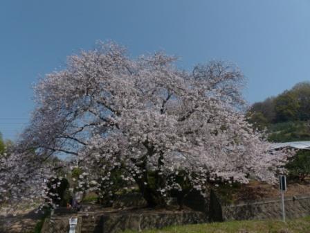 比翼塚の一本桜 (ソメイヨシノ) 5