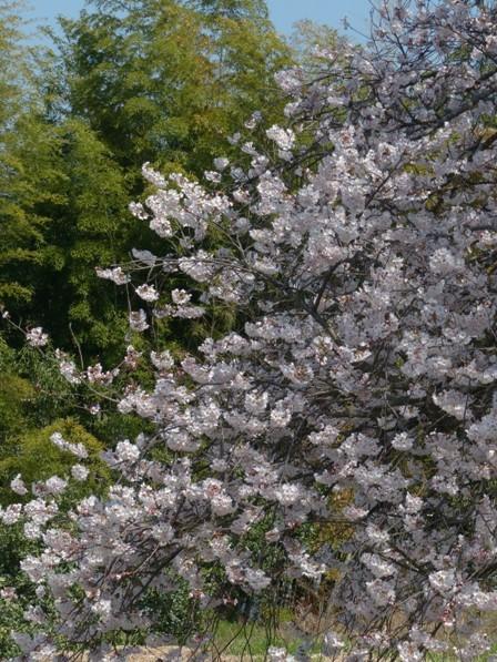 比翼塚の一本桜 (ソメイヨシノ) 6