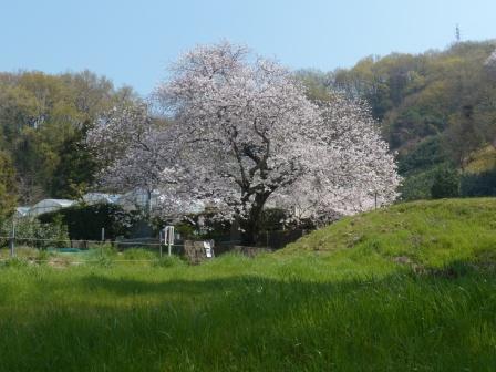 比翼塚の一本桜 (ソメイヨシノ) 7