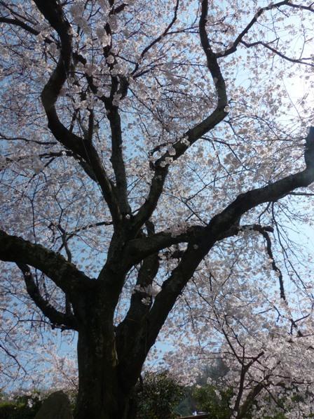 比翼塚の一本桜 (ソメイヨシノ) 8