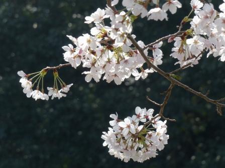 比翼塚の一本桜 (ソメイヨシノ) 9