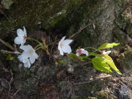 比翼塚の一本桜 (ソメイヨシノ) 10