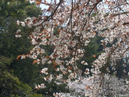 道後公園 山桜 1