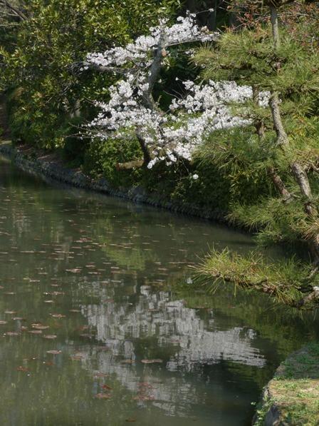 道後公園 ソメイヨシノ 2