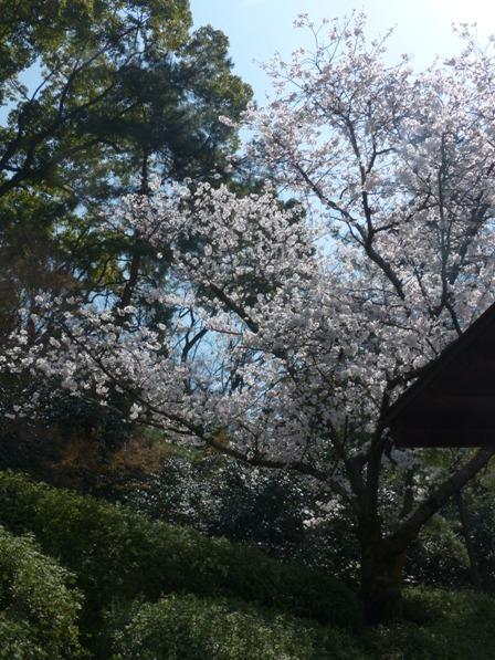 道後公園 ソメイヨシノ 6