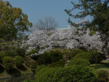 道後公園 ソメイヨシノ 7