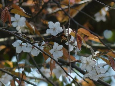 道後公園 山桜 2