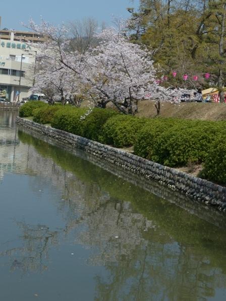 道後公園 ソメイヨシノ 9