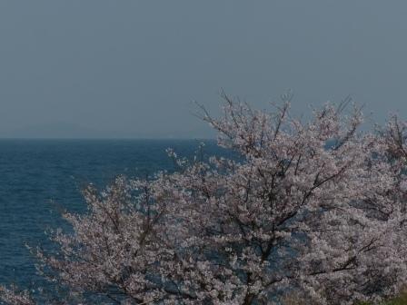 双海町 桜 & 海 1