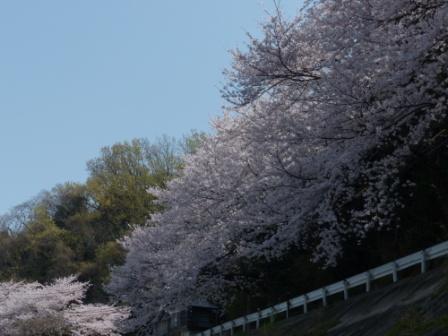 双海町 桜 3