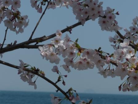 双海町 桜 & 海 2