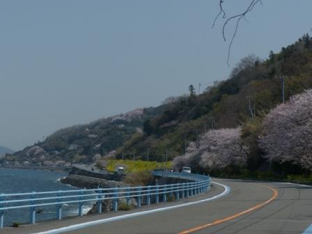 桜 & 菜の花 風景 1