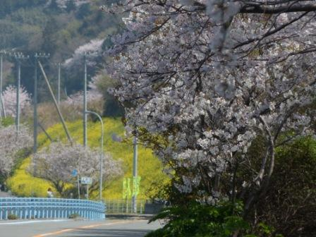 桜 & 菜の花 風景 2