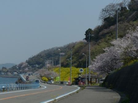 桜 & 菜の花 風景 3