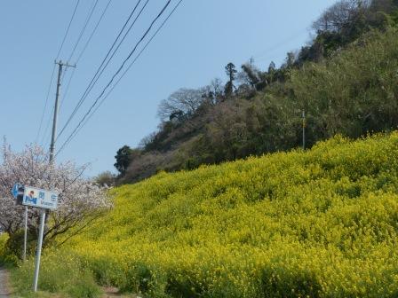閏住地区 菜の花 & 桜 1
